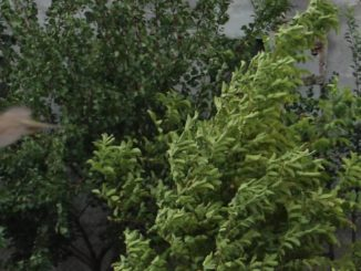 Copaci suflați de vânt. FOTO Adrian Boioglu